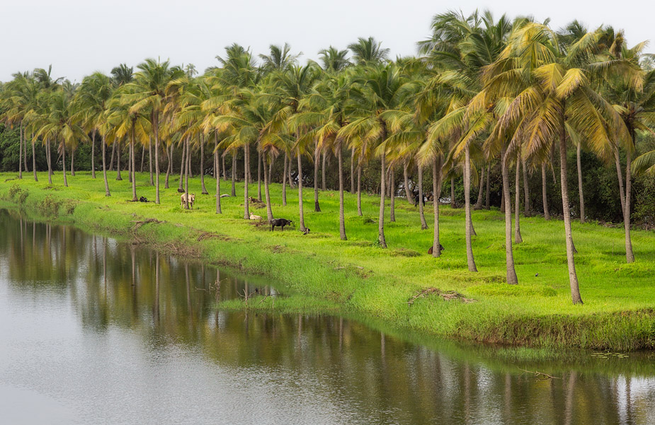 Coconut orchard in Orlim
