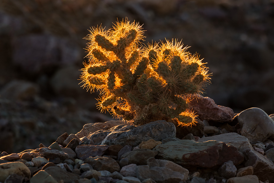 Cholla cactus, Death Valley