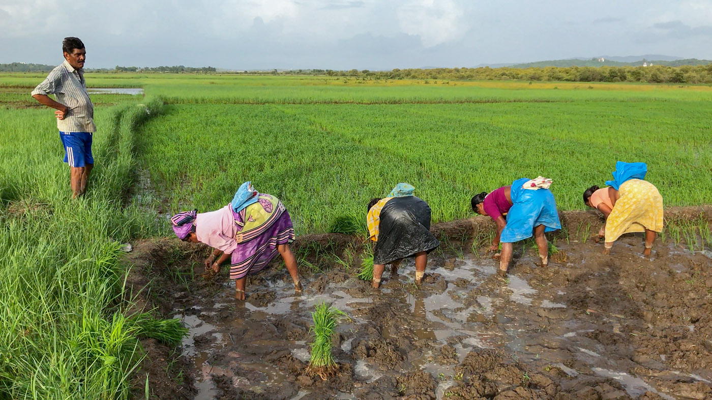 Paddy farming in Divar, Goa