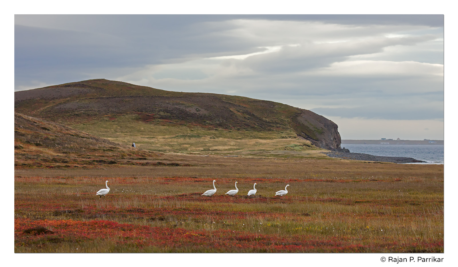Whooper swans in Flateyjardalur, Iceland