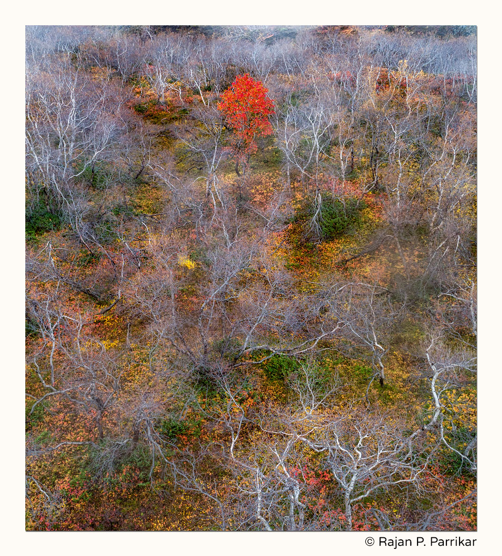 Autumn colour and Rowan Tree in Iceland