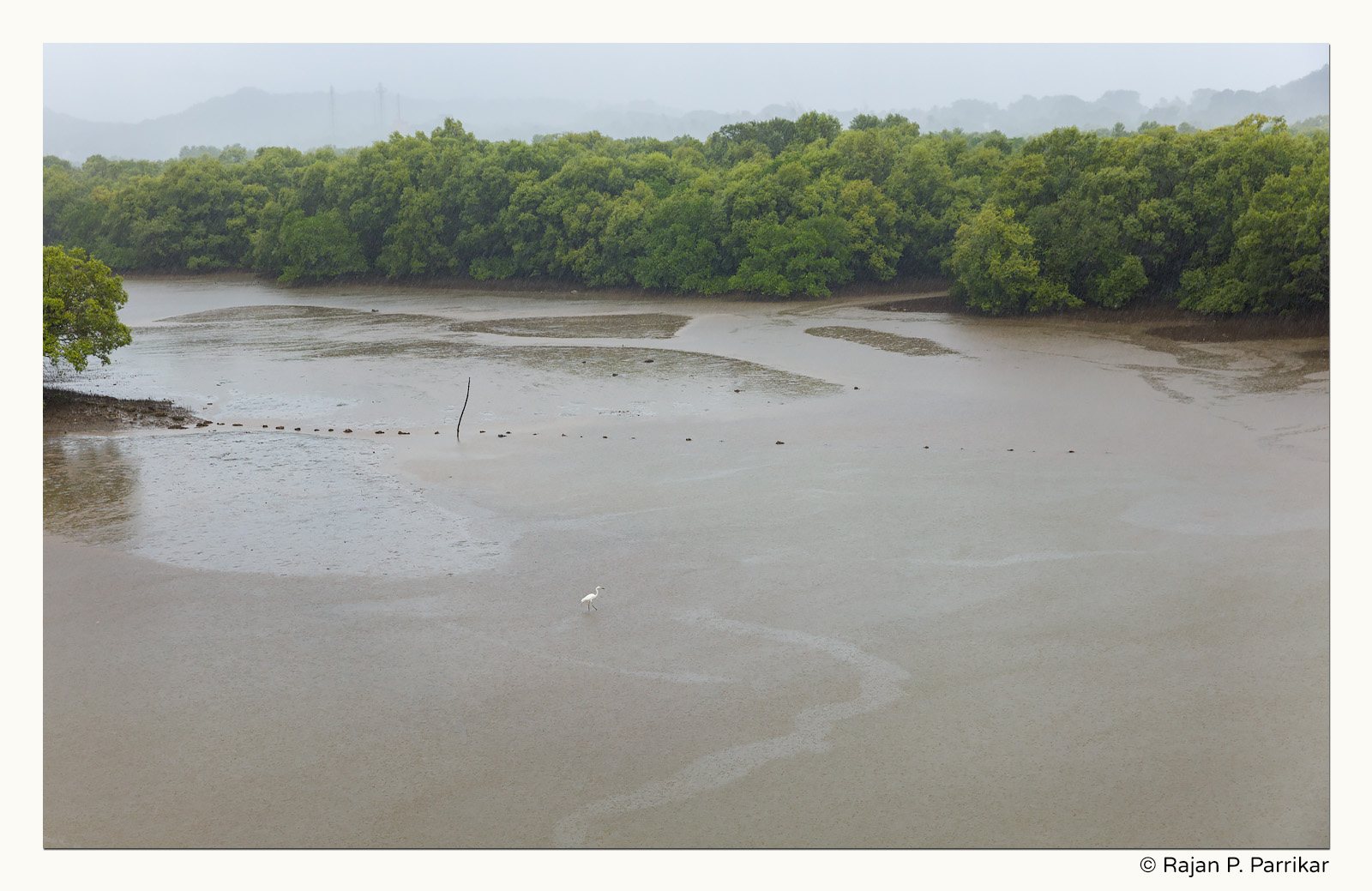 Lone egret in rainstorm on Nerul river, Goa