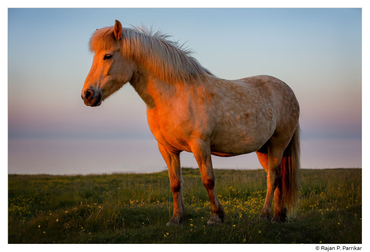 Icelandic horse - last light in Garður, Iceland