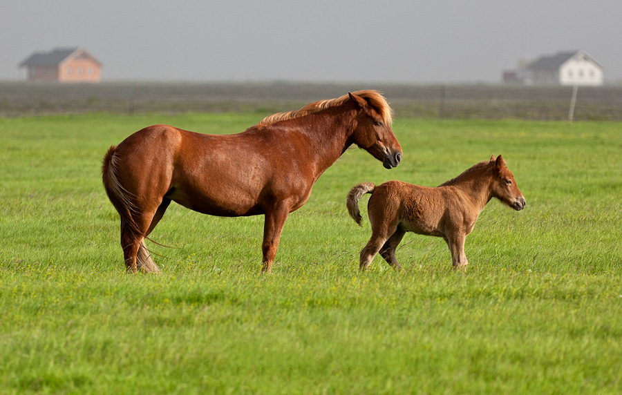 Mare and foal in Fljótsdalur
