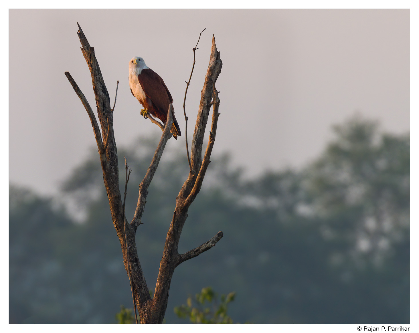Brahminy Kite, Sunrise in Salvador do Mundo, Goa