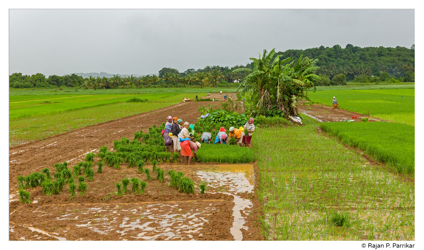 Paddy field work in Ucassaim, Goa