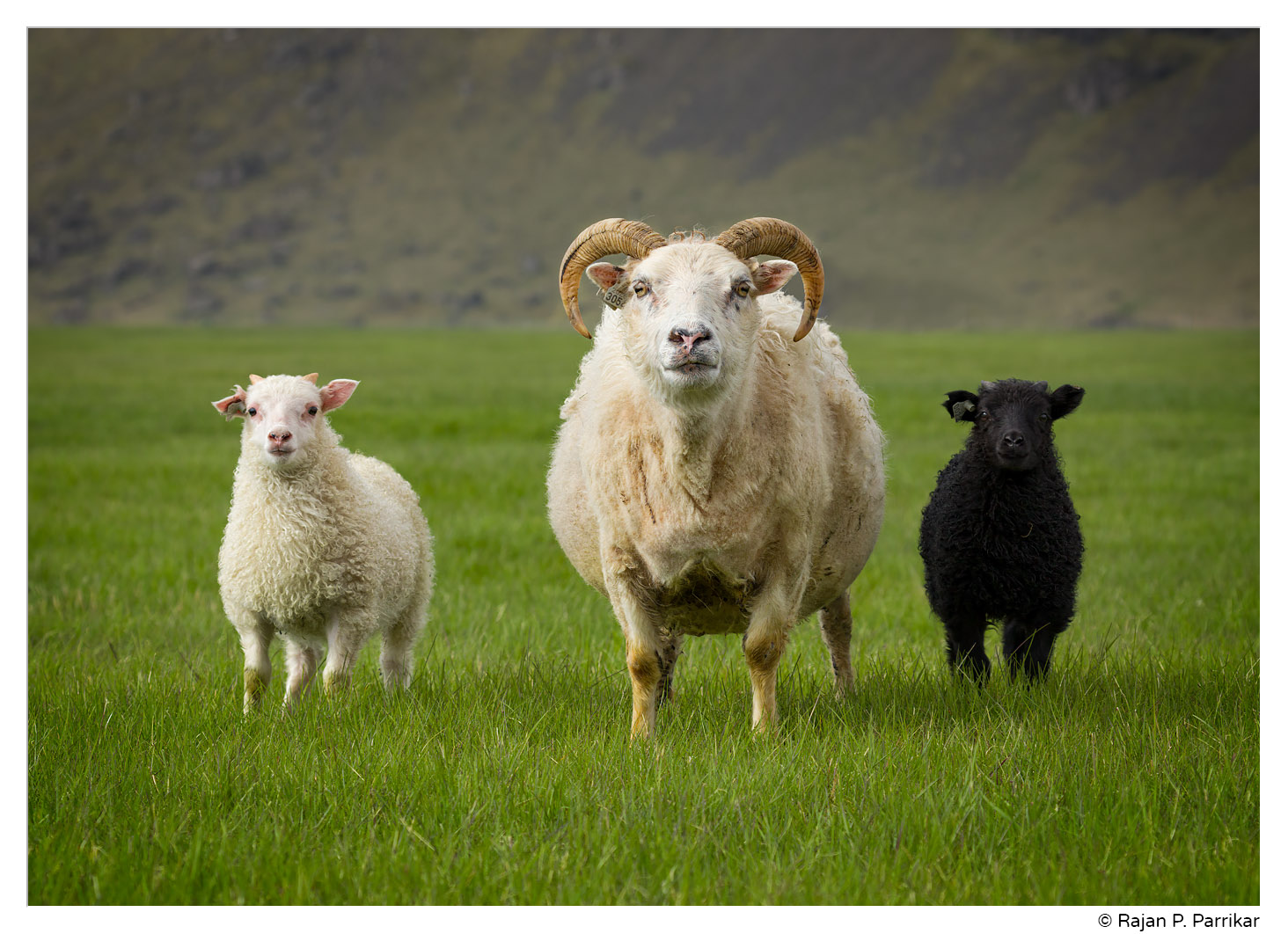 Icelandic sheep at Steinasandur, Iceland