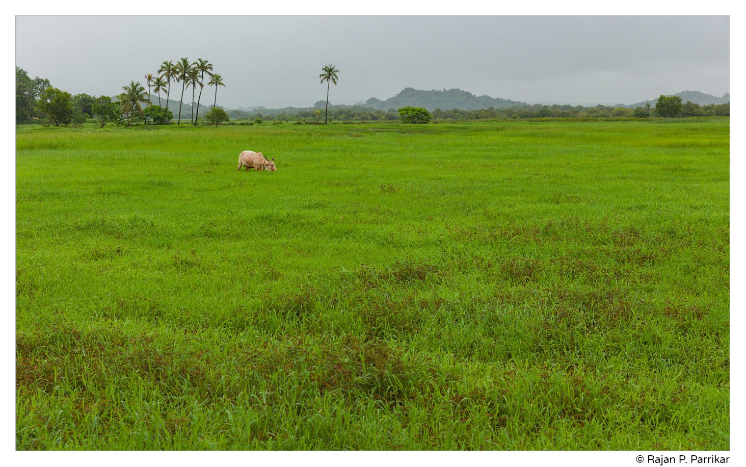Fields of Pomburpa, Goa