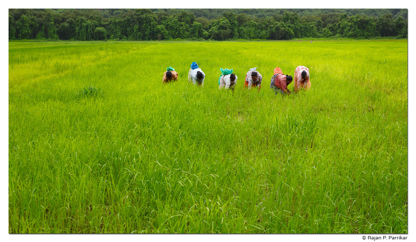 Paddy field workers, Bodiem, Goa