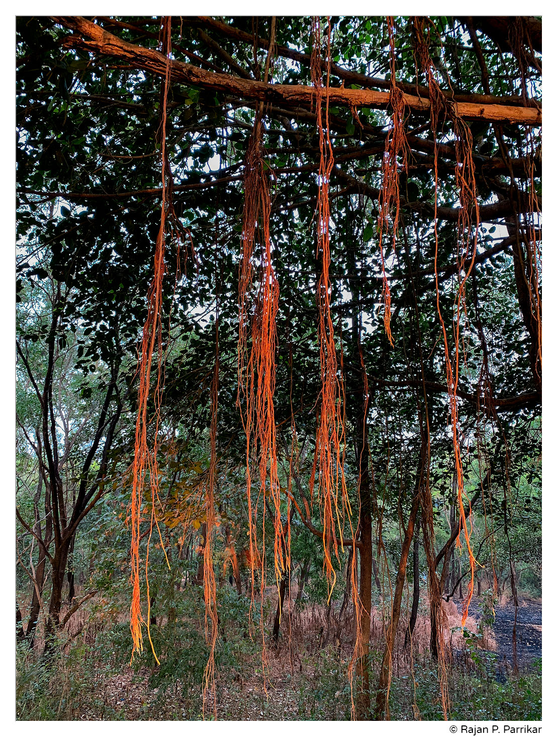 Aerial prop roots of Banyan tree, Goa
