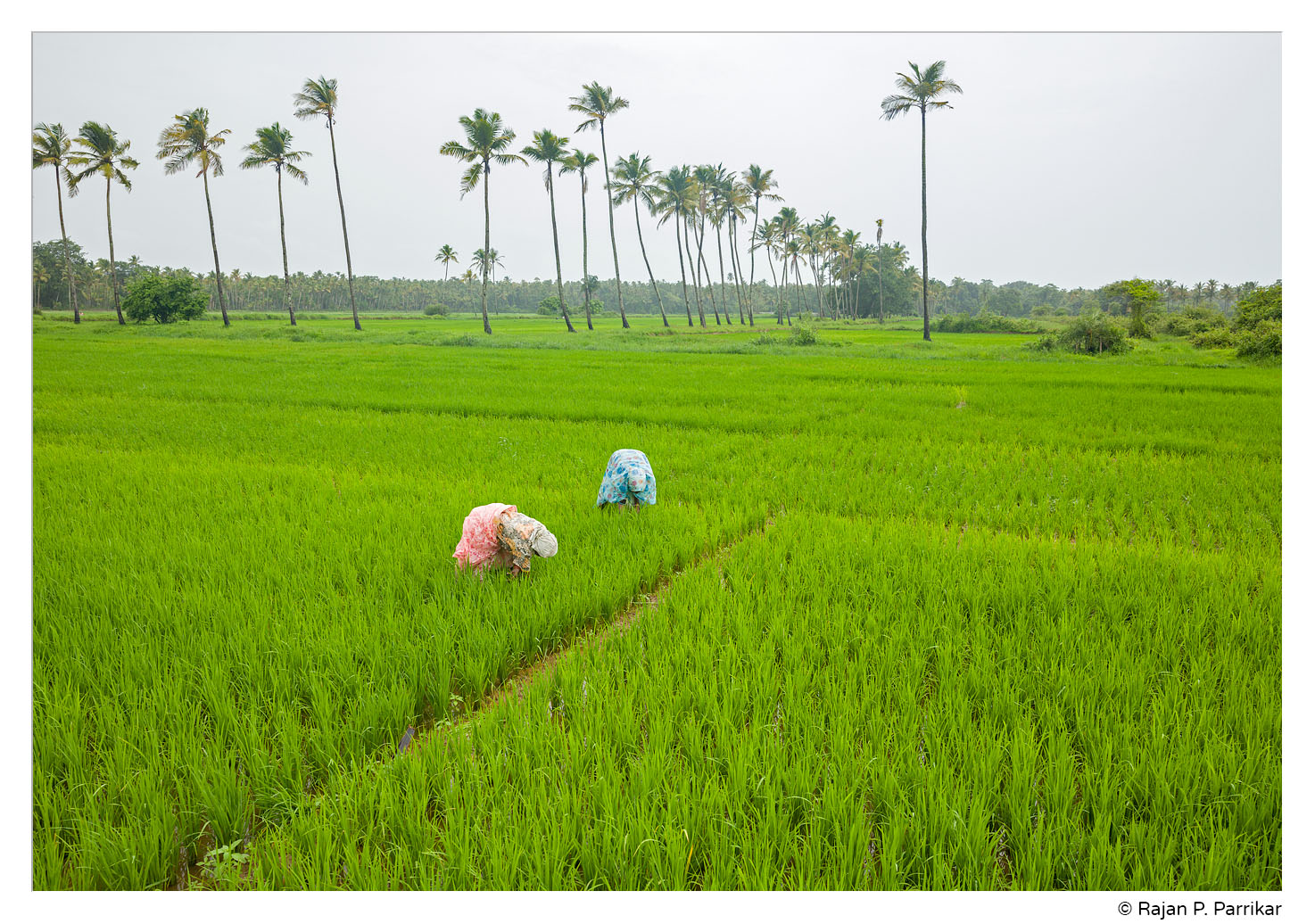 Paddy fields of Cansaulim, Goa