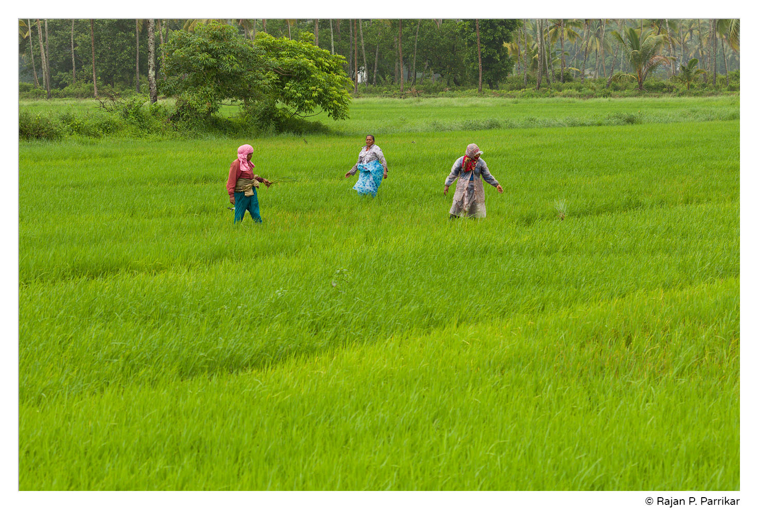 Paddy field in Cansaulim, Goa