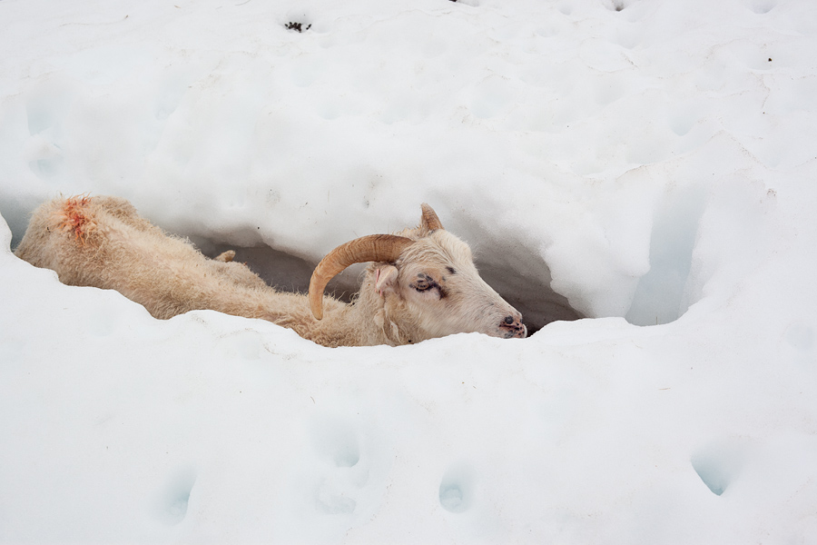 The hapless ewe in the snowy ditch