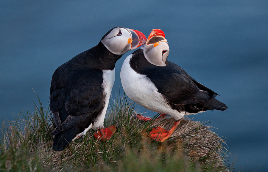 Puffin love (Note: the golden light got switched off temporarily)
