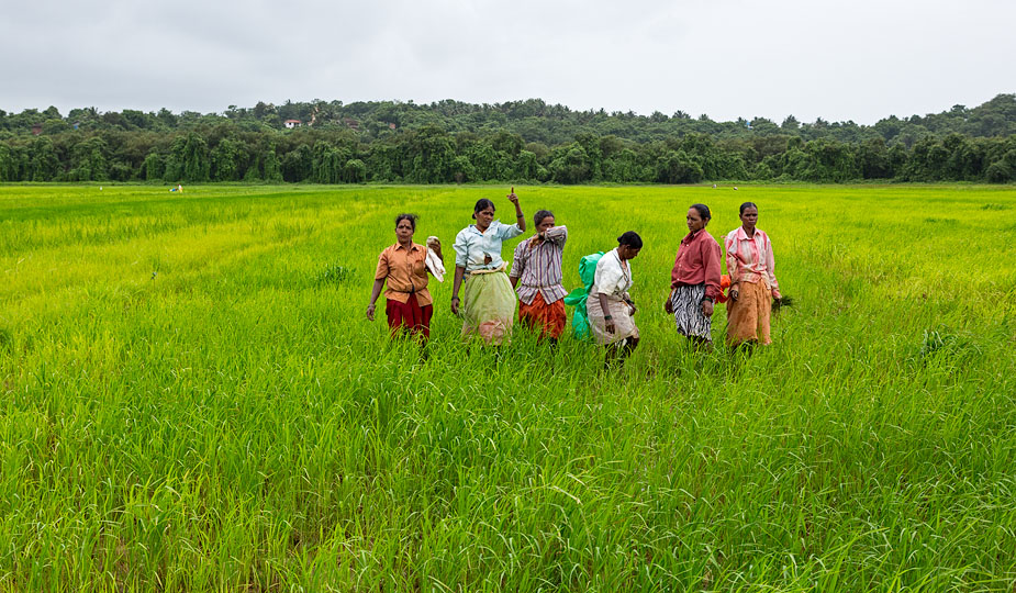 Paddy farming in Bodiem