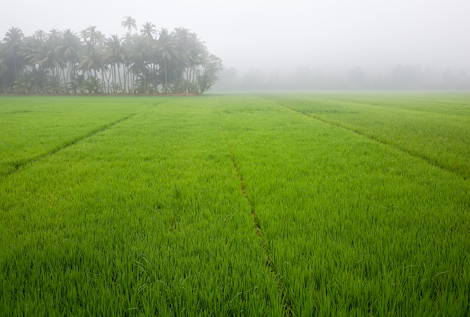 Mist in rice field, Cortalim, Goa