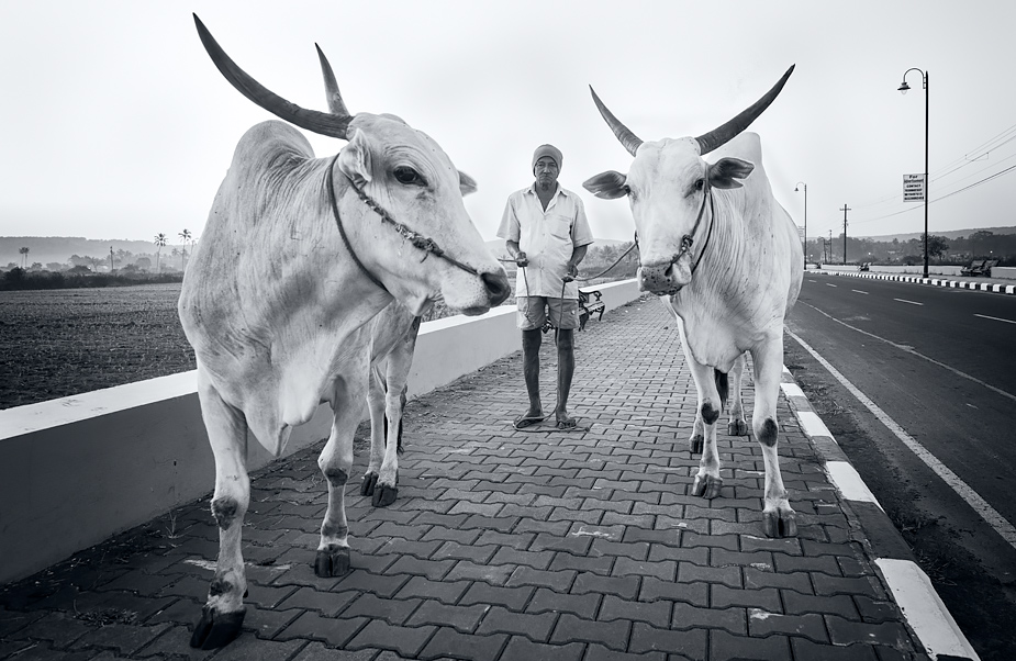 Farmer Anand Haldankar and his oxen in Saligao, Goa