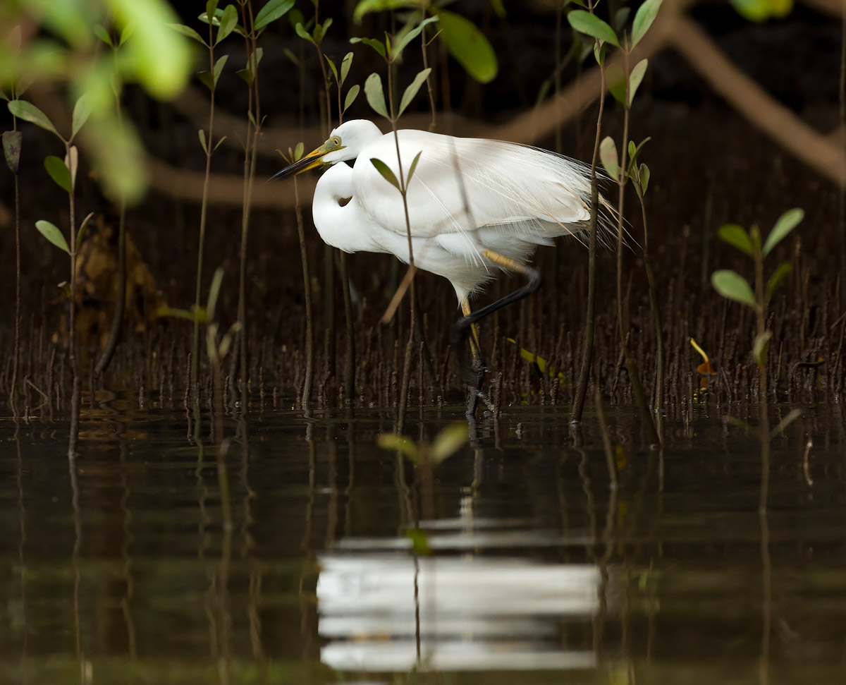 Egret in Mangroves at Cupa Manos, St. Estevem