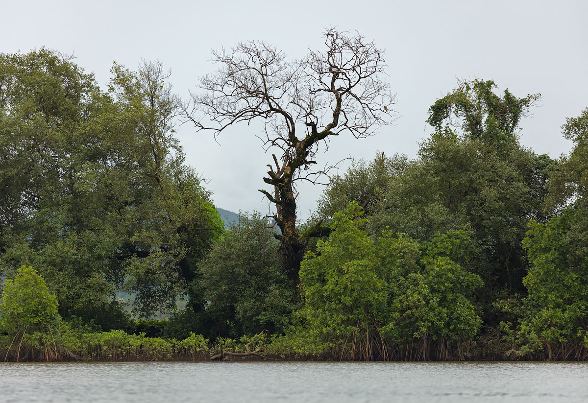 Mangroves, River Mandovi, Goa