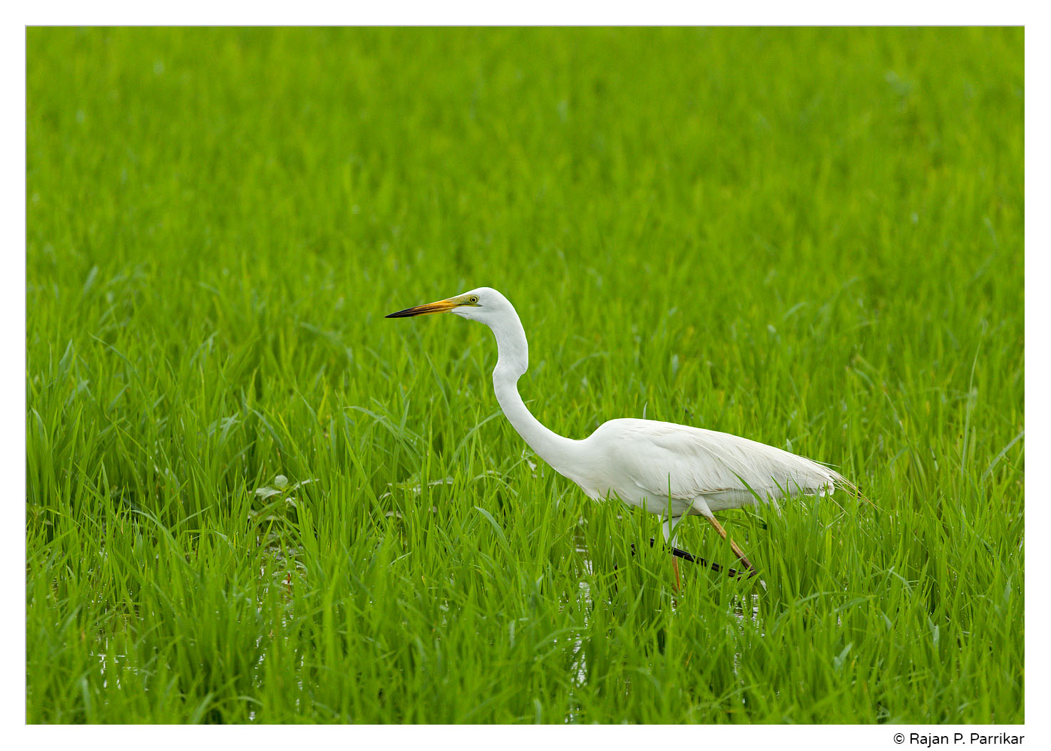Egret in a paddy field in Cansaulim, Goa