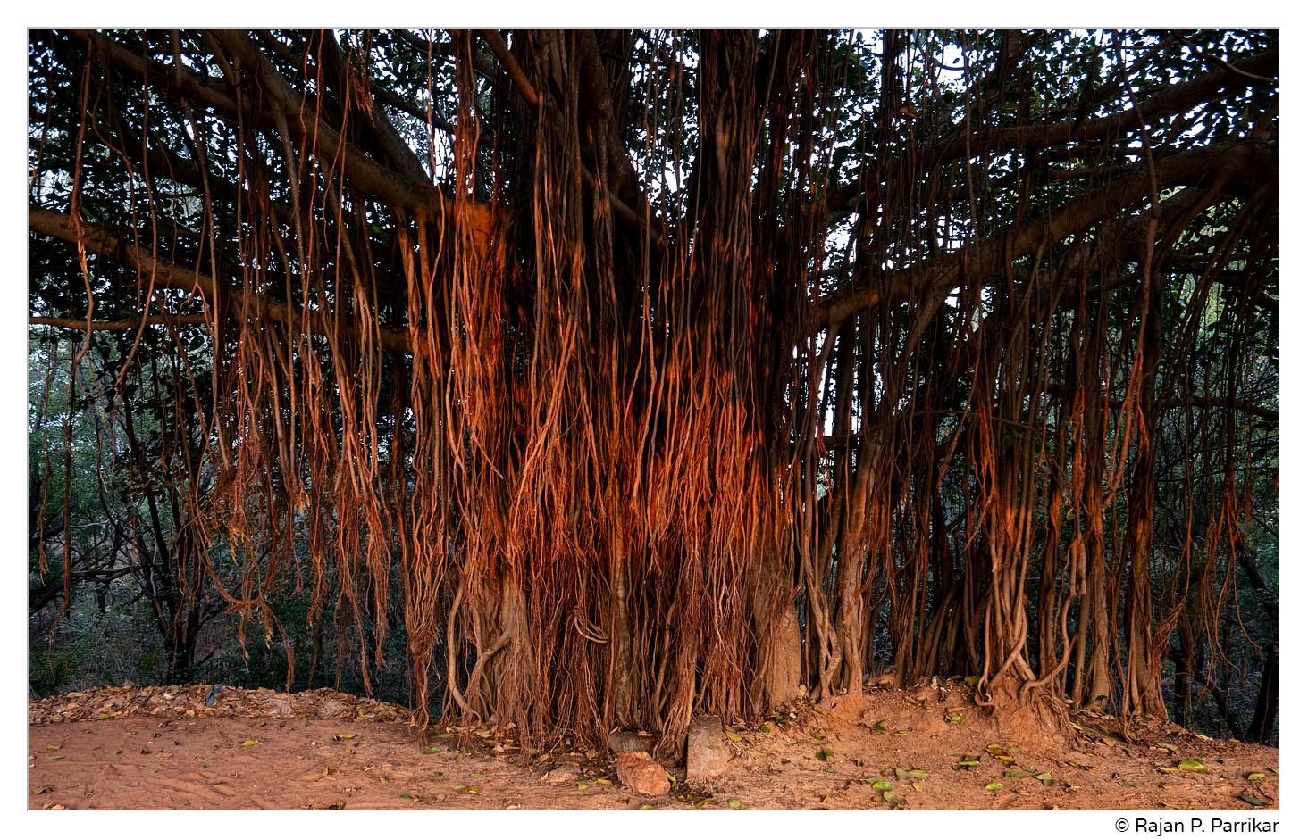 Banyan tree in Sinquerim, Goa