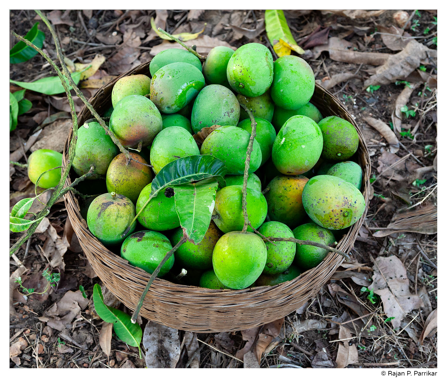 Mancurado mangoes in Goa