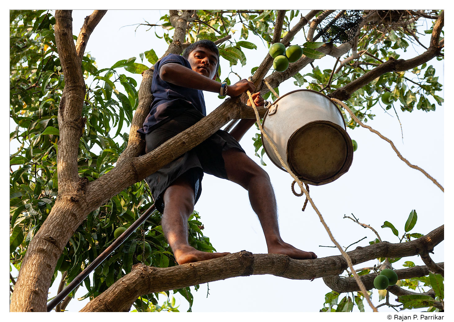 Harvesting mangoes in Goa